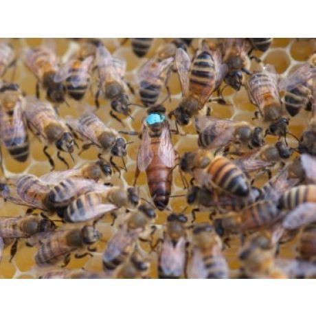 reine fécondée vierge buckfast F1. Miellerie d'Api-Qlé, apiculteur local et producteur naturel de miel, pollen, gelée royale, brèche, essaim et reine
