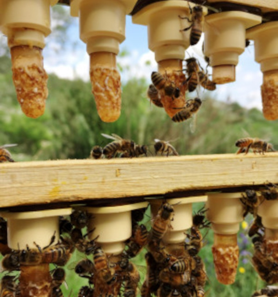 reine fécondée vierge buckfast F1 cellule royale. Miellerie d'Api-Qlé, apiculteur local et producteur naturel de miel, pollen, gelée royale, brèche, essaim et reine