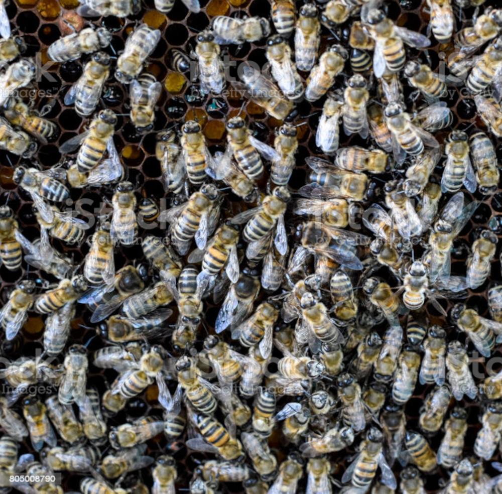 essaim reine inséminée fécondée  buckfast F1 cellule royale. france Miellerie d'Api-Qlé, apiculteur local et producteur naturel de miel, pollen, gelée royale, brèche, essaim et reine
