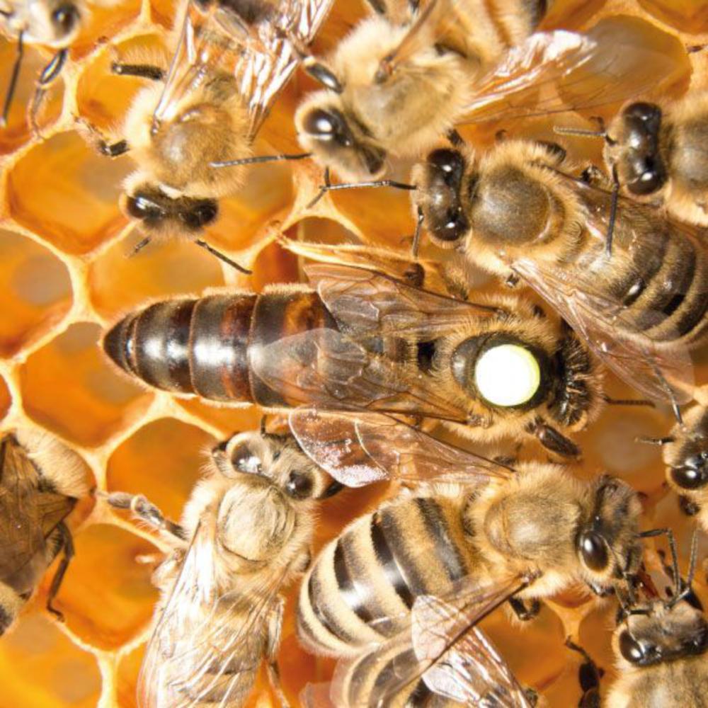 reine fécondée buckfast F1. Miellerie d'Api-Qlé, apiculteur local et producteur naturel de miel, pollen, gelée royale, brèche, essaim et reine